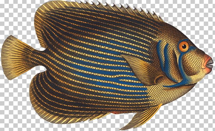 Ichthyology clipart clip art freeuse library Tilapia Marine Biology Ichthyology Histoire Naturelle ... clip art freeuse library