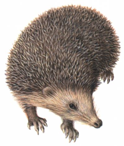 Igel im garten clipart jpg freeuse stock 10+ images about Igel on Pinterest | Hedgehog home, Pets and The ... jpg freeuse stock