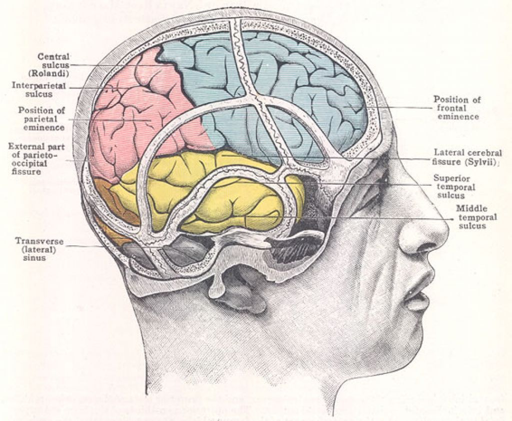 Library of illustration head with brain frontal view jpg ...