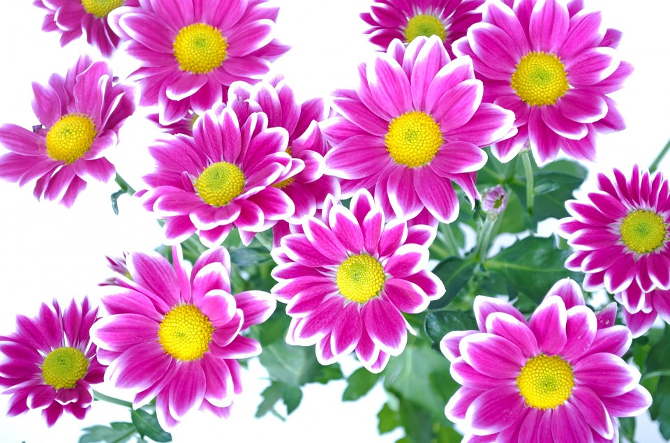 Image for flowers png freeuse stock Ornamental, Flower - Free images on Pixabay png freeuse stock