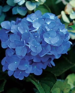 Images of big flowers banner free stock Big Flowers from Bigleaf Hydrangeas | Fine Gardening banner free stock
