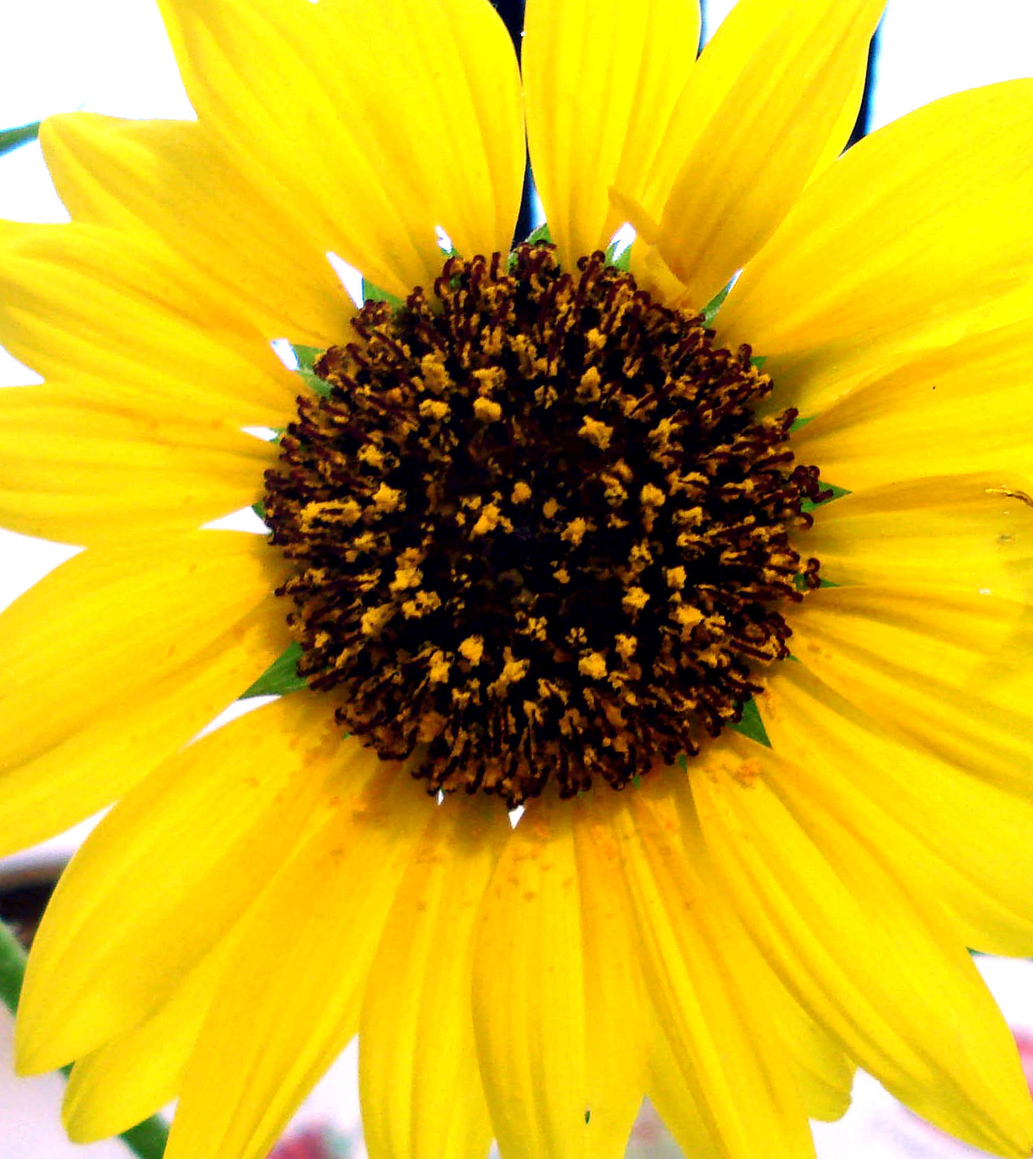 Images of big flowers clip freeuse download Big flower images - ClipartFest clip freeuse download