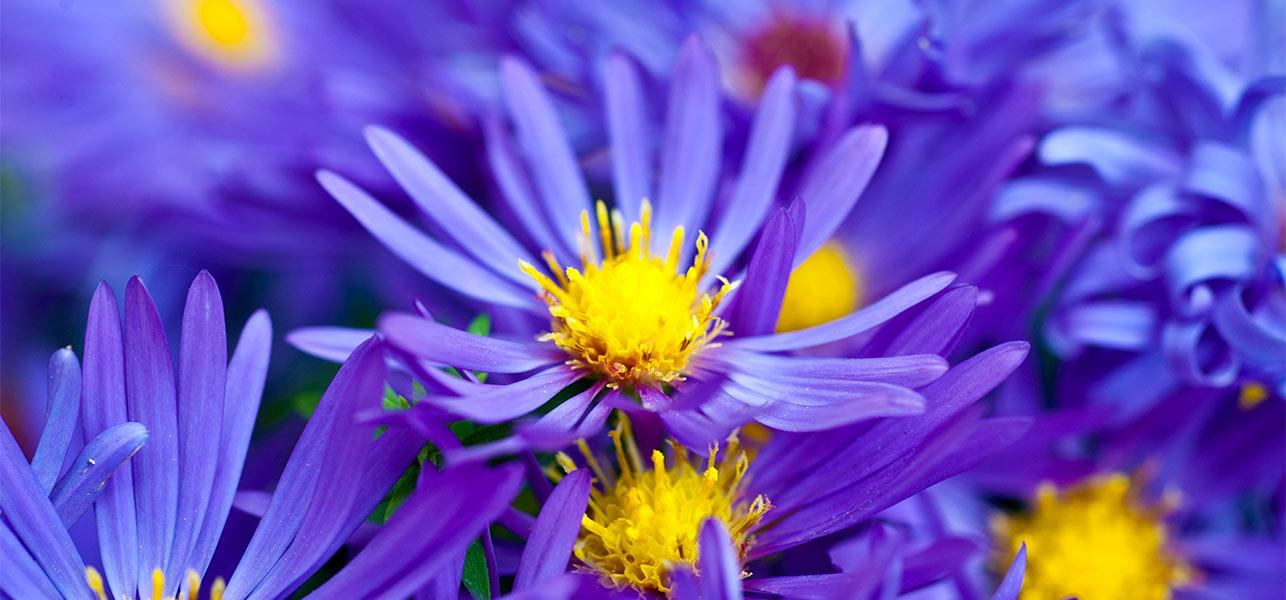 Images of violet flowers