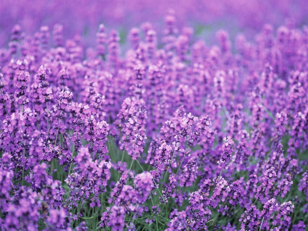 Images of violet flowers svg download Images of violet flowers - ClipartFest svg download