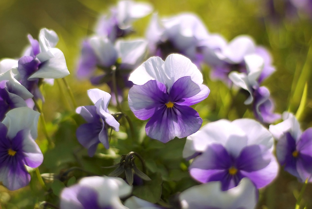 Images of violet flowers jpg library Violets | The Flowers Avenue jpg library