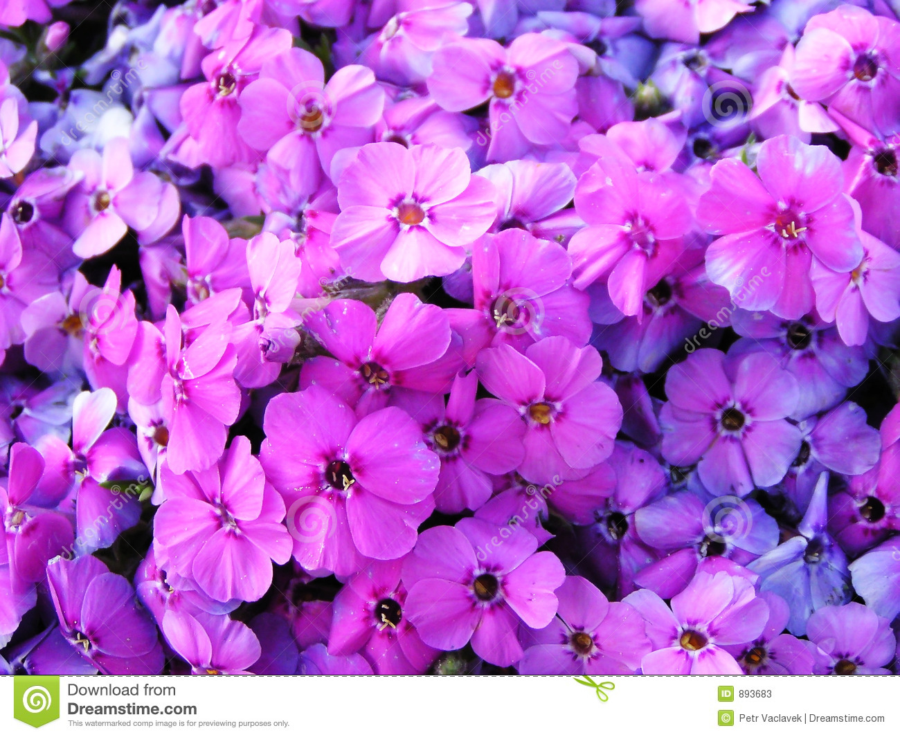Images of violet flowers image free download Image Full Of Violet Flowers Stock Photos - Image: 893683 image free download