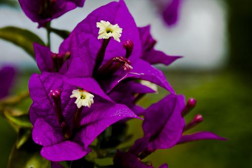 Images of violet flowers freeuse download Violet Flower - African, Purple & Blue Violet Flowers freeuse download