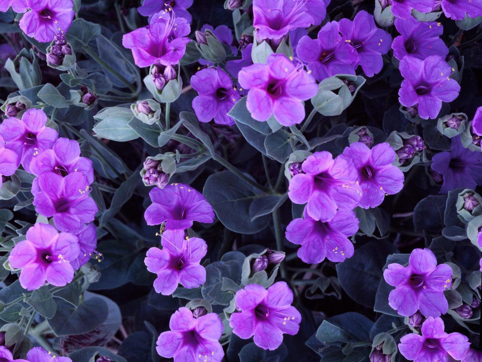 Images of violet flowers freeuse download Violet Flowers Wallpapers HD Pictures – One HD Wallpaper Pictures ... freeuse download