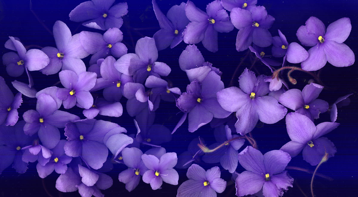 Images of violet flowers clip download 17 Best images about African Violets on Pinterest | Flower ... clip download