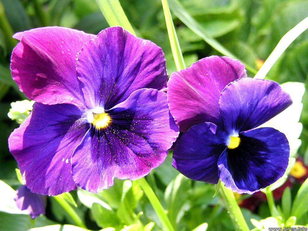 Images of violet flowers image freeuse 17 Best images about Yolandi means Violet Flower on Pinterest ... image freeuse