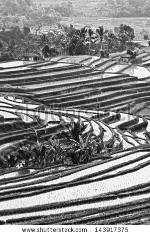 Indonesia black and white clipart jpg black and white library Rice Terraces On Bali Island Indonesia Stock Photo 143917348 ... jpg black and white library