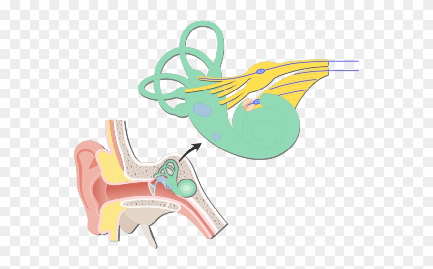 Inner ear clipart clip library stock An Image Showing The Bipolar Neurons Inside Inner Ear ... clip library stock