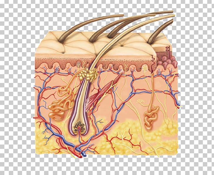 Library Of Integumentary System Graphic Library Png Files