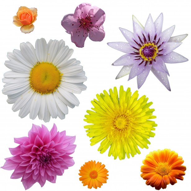 Isolated free stock clipart photos clipart freeuse library Isolated Flower Clipart Free Stock Photo - Public Domain Pictures clipart freeuse library