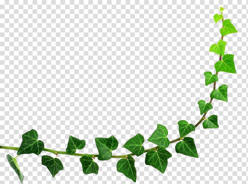 Ivy vine curved frame clipart clip library stock Green evil\'s ivy plant, Semicircle Leaf, Green leaf half ... clip library stock