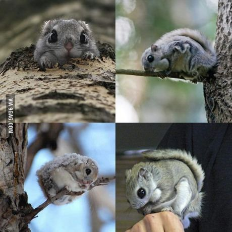 Japanese dwarf flying squirrel clipart graphic download The Japanese flying squirrel - cuteness overload! | Best of 9GAG ... graphic download