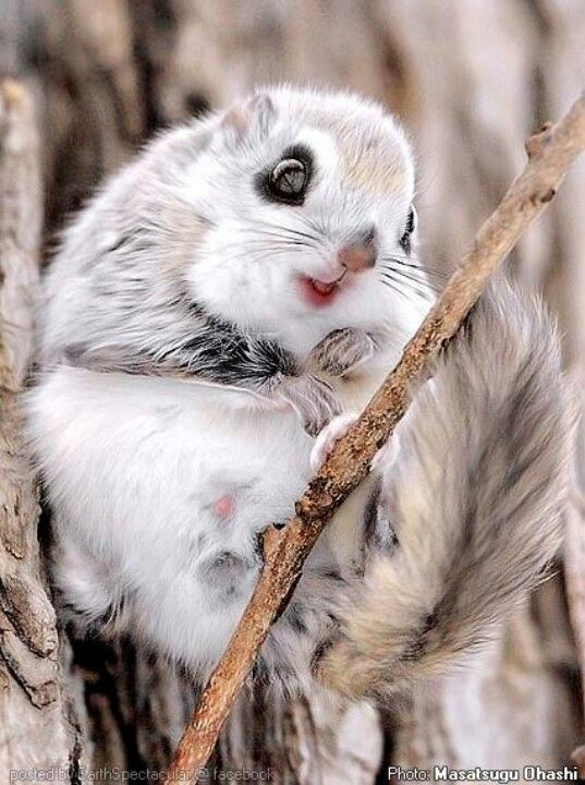 Japanese dwarf flying squirrel clipart image free download Environment | animals #34 | Animals beautiful, Japanese dwarf flying ... image free download