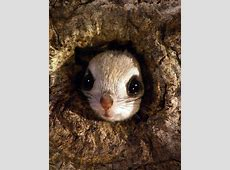 Japanese dwarf flying squirrel clipart png library Japanese Dwarf Flying Squirrel | auto-kfz.info png library