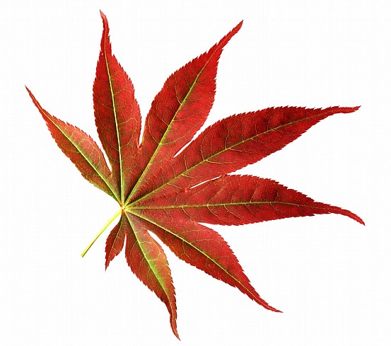 Japanese maple leaf clipart black and white download Free Japanese Maple Cliparts, Download Free Clip Art, Free Clip Art ... black and white download