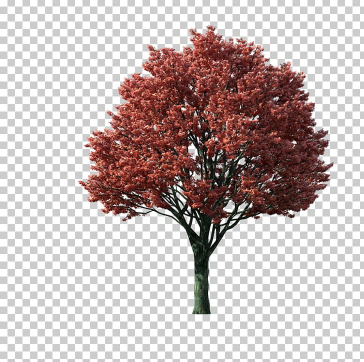 Japanese maple clipart clipart library library Japanese Maple Acer Japonicum Tree PNG, Clipart, Acer Japonicum ... clipart library library