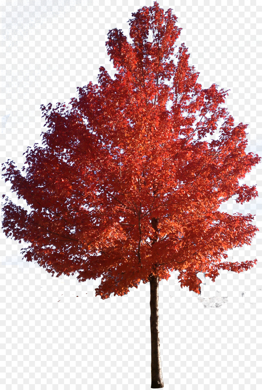 Japanese maple tree clipart jpg library Red Maple Tree png download - 1878*2785 - Free Transparent Red Maple ... jpg library