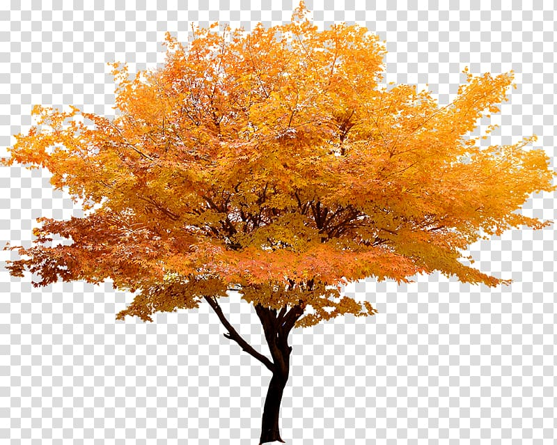 Japanese maple tree clipart vector library download Red maple Japanese maple Tree Maple leaf, Yellow trees landscape ... vector library download