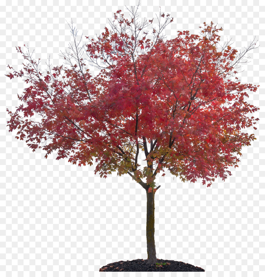 Japanese maple tree clipart png transparent download Red Maple Tree png download - 867*922 - Free Transparent Tree png ... png transparent download