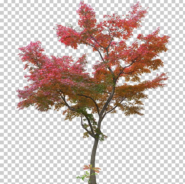 Japanese maple tree clipart clip library download Japanese Maple Tree Maple Leaf PNG, Clipart, Acer Japonicum, Autumn ... clip library download