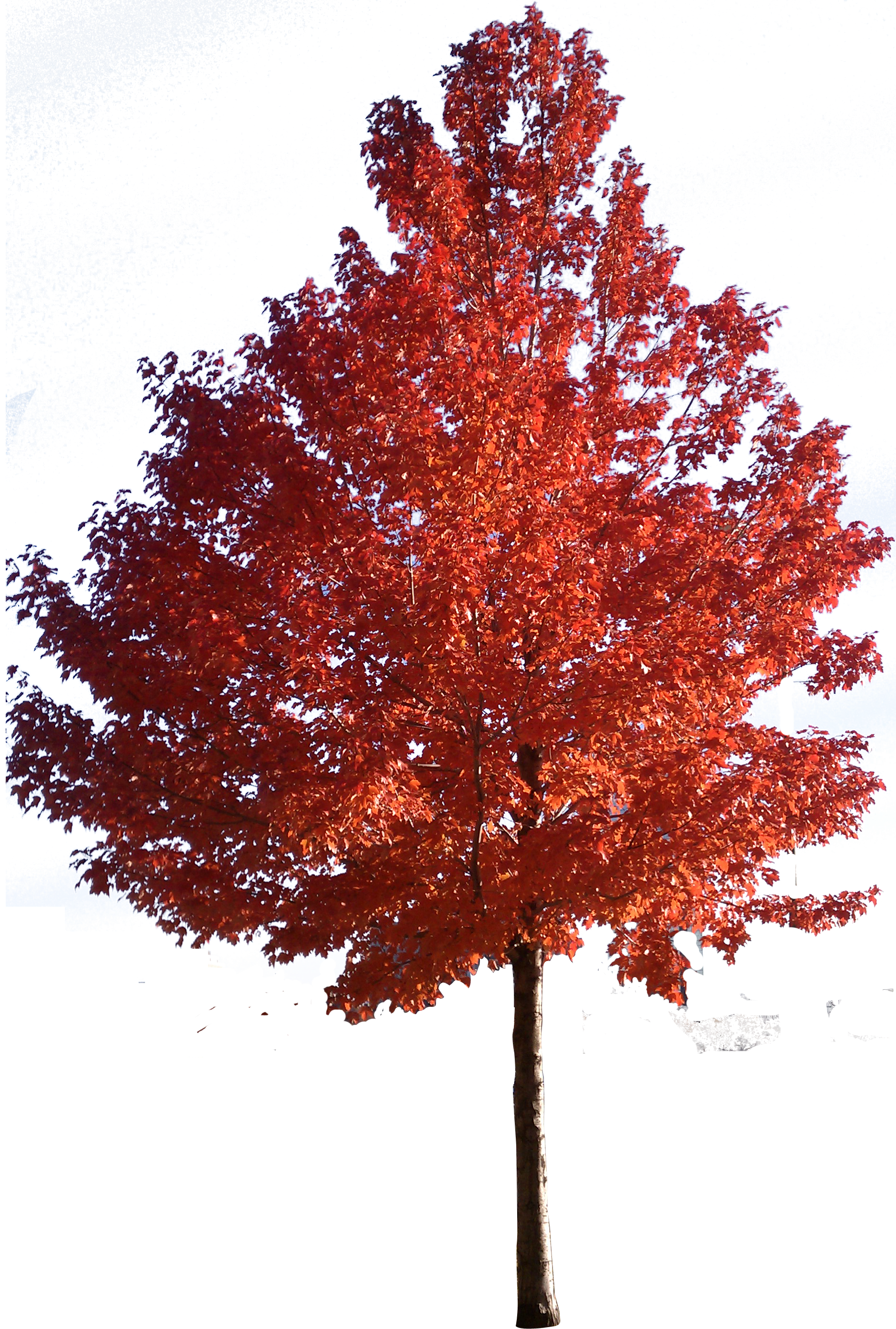 Japanese tree clipart vector library download Red maple Japanese maple Sugar maple Tree Clip art - trees 1878*2785 ... vector library download