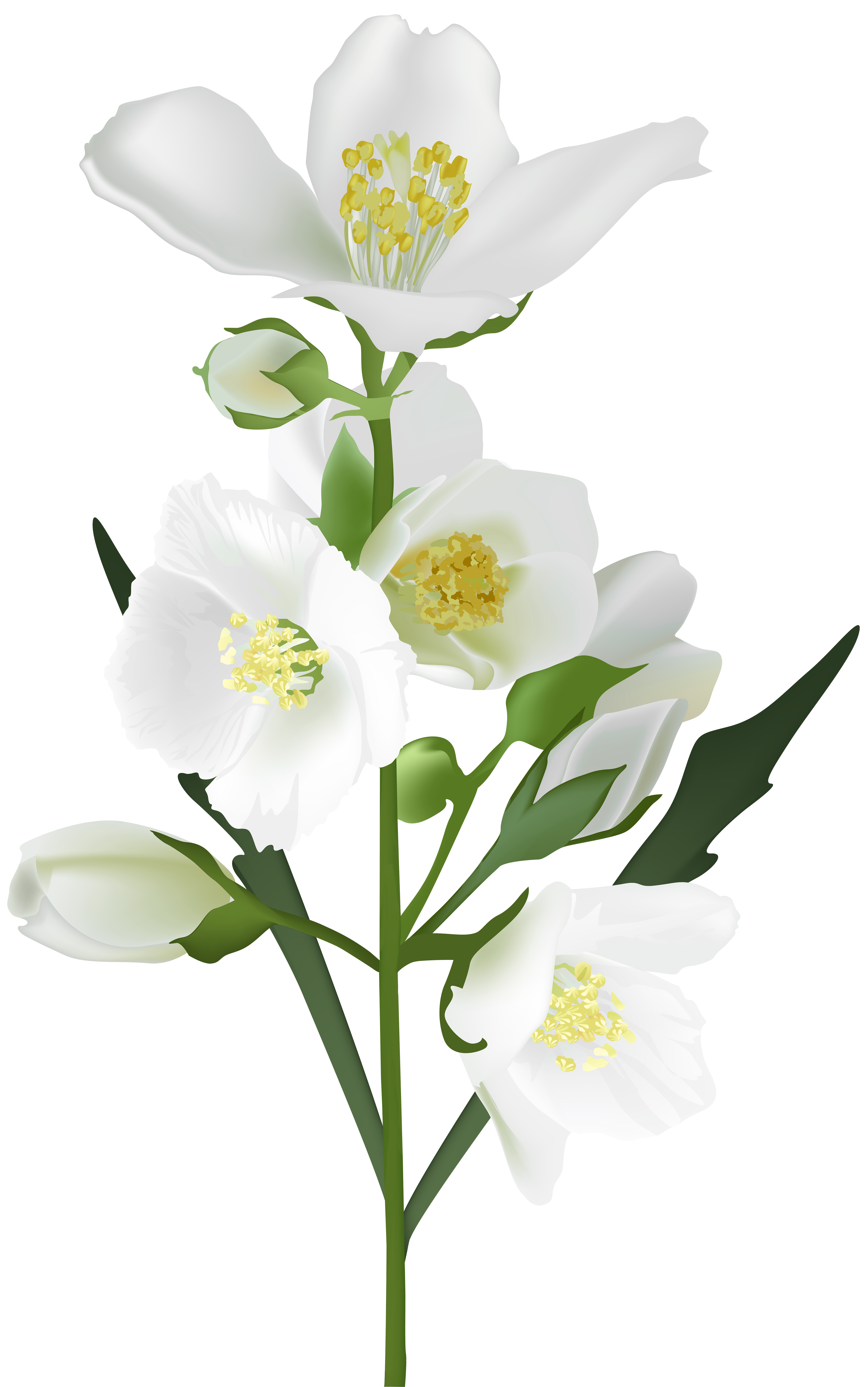 Jasmine flower clipart black and white graphic library stock Flower White Clip art - White Flower PNG Clip Art Image 5009*8000 ... graphic library stock