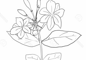 Jasmine flowers line clipart black and white image freeuse library Jasmine Flower Sketch at PaintingValley.com | Explore collection of ... image freeuse library