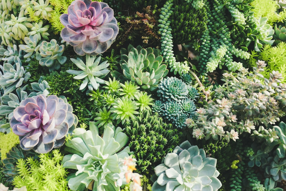Jelly bean succulant plant clipart black and white clip library stock 100+ Succulent Pictures | Download Free Images on Unsplash clip library stock