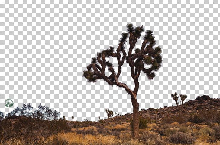 Joshua tree national park clipart png stock Joshua Tree National Park Desktop PNG, Clipart, Branch, California ... png stock