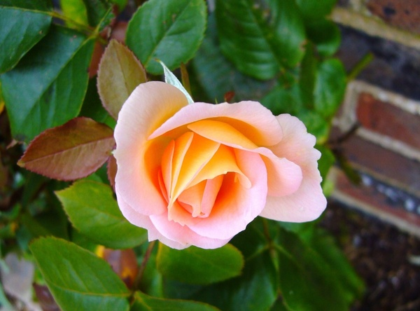 Jpeg flower images banner royalty free download Rose rosebud flower Free stock photos in JPEG (.jpg) 2388x1770 ... banner royalty free download