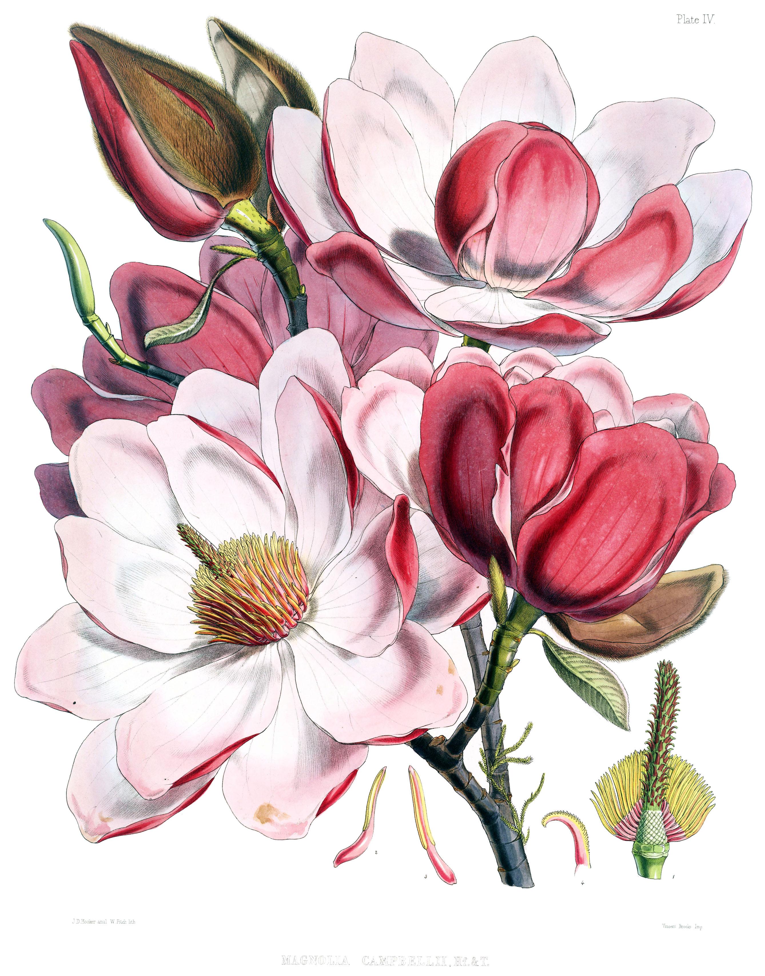 Jpeg flower images svg free download File:Magnolia campbellii flowers.jpg - Wikimedia Commons svg free download