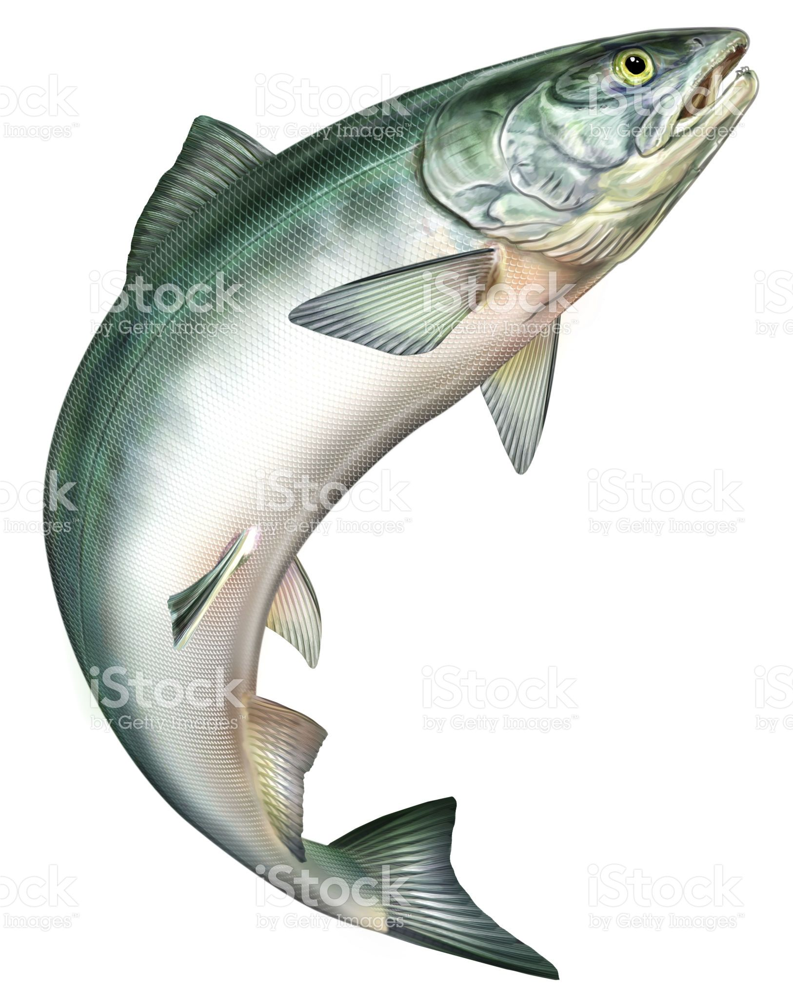 Jumping salmon clipart clipart transparent download Salmon jumping   tattoo in 2019   Fish clipart, Fish vector ... clipart transparent download