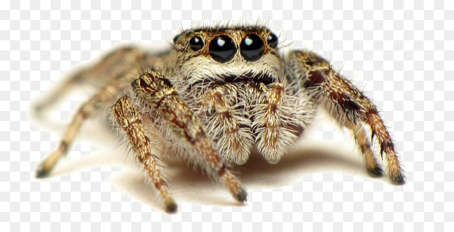 Jumping spider clipart clip royalty free library Peacock Drawing png download - 1074*548 - Free Transparent ... clip royalty free library