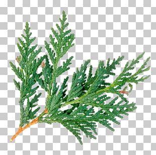 Juniperus virginiana clipart clipart free Juniperus Virginiana PNG Images, Juniperus Virginiana ... clipart free