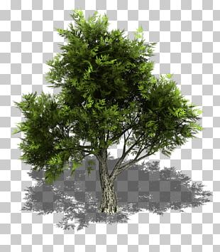 Juniperus virginiana clipart clip art free library Juniperus Virginiana PNG Images, Juniperus Virginiana ... clip art free library