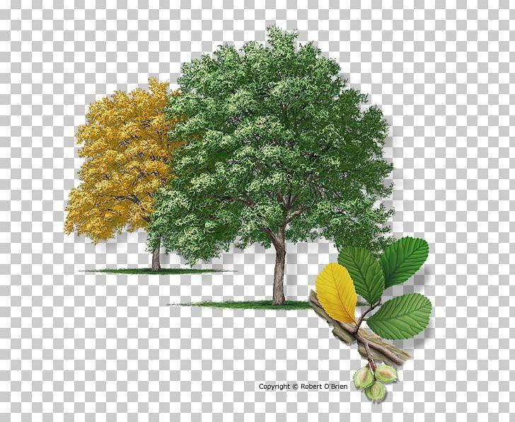 Juniperus virginiana clipart graphic free stock Texas Ulmus Crassifolia Juniperus Virginiana Slippery Elm ... graphic free stock