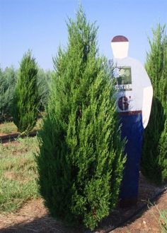 Juniperus virginiana clipart picture stock 17 Best Juniperus Virginiana images in 2014 | Red cedar, Red ... picture stock