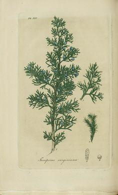 Juniperus virginiana clipart vector transparent library 17 Best Juniperus Virginiana images in 2014 | Red cedar, Red ... vector transparent library