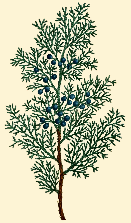 Juniperus virginiana clipart banner transparent library File:NAS-155a Juniperus virginiana.png - Wikimedia Commons banner transparent library
