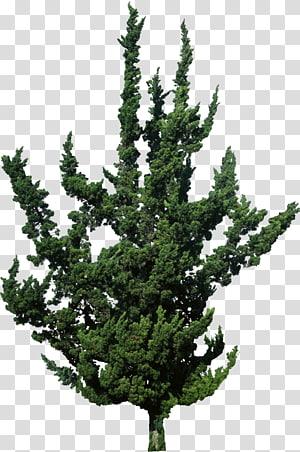 Juniperus virginiana clipart vector free library Juniperus transparent background PNG cliparts free download ... vector free library