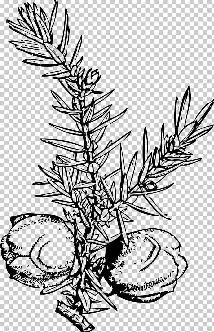 Juniperus virginiana clipart picture transparent library Juniper Berry Drawing Common Juniper Juniperus Virginiana ... picture transparent library