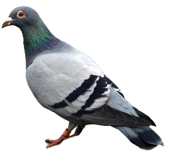 Kabutar clipart png freeuse stock Pigeon PNG images, free pigeon png pictures download png freeuse stock