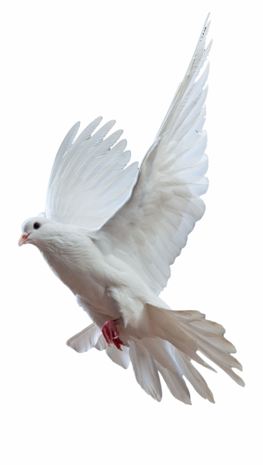 Kabutar clipart clip art freeuse Pigeon Png - Kabutar Png Free PNG Images & Clipart Download ... clip art freeuse