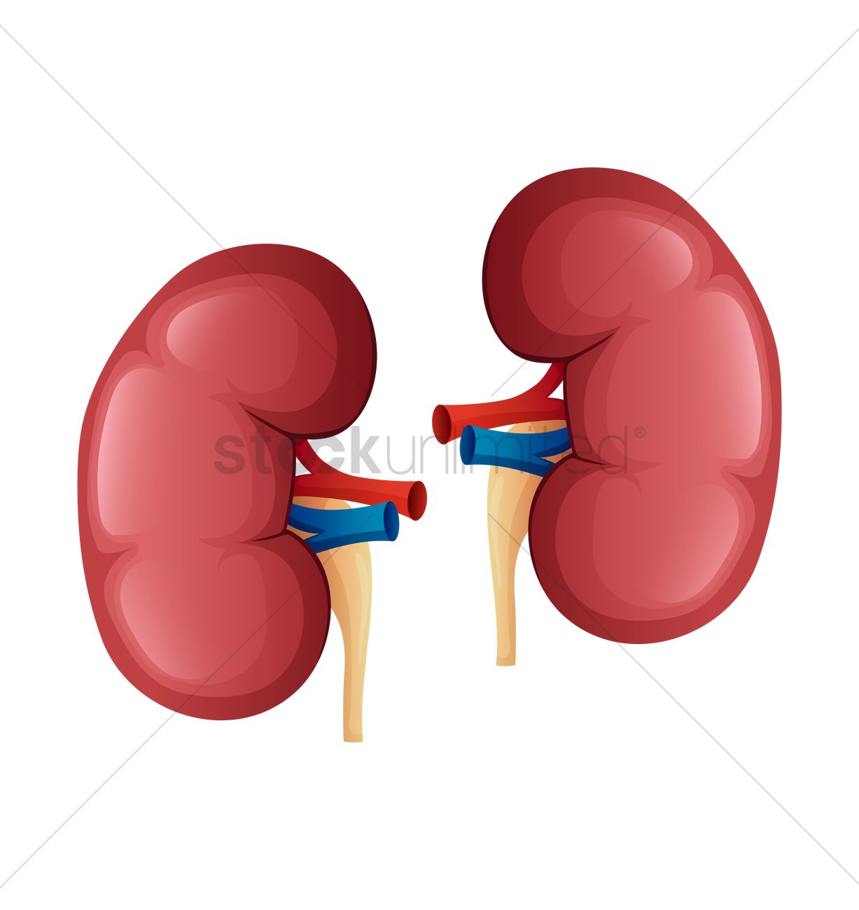Kidneys clipart jpg black and white stock Kidneys Clipart | Free download best Kidneys Clipart on ... jpg black and white stock