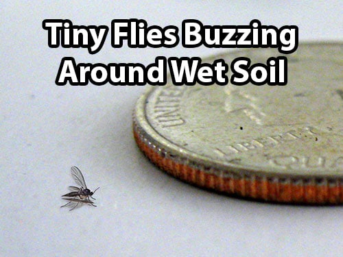 Killing pest in plant clipart black and white banner black and white Fungus Gnats & Cannabis - How to Identify & Get Rid of It ... banner black and white
