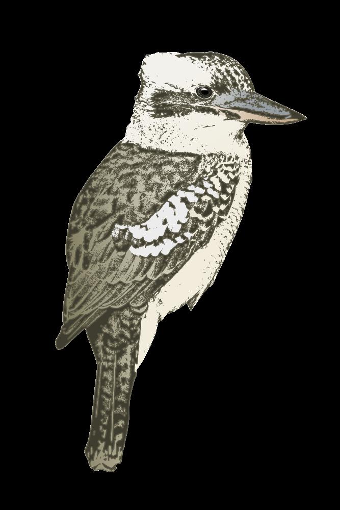 Kookaburra clipart free